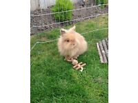 Silly tame beautiful pure pedigree lionhead