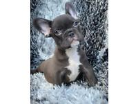 Ready Now!! French Bulldogs Isabella & Fluffy Carriers