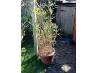 Bamboo plant in a terracotta pot