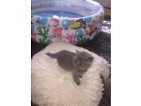 GCCF registered Blue BSH kittens