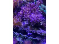 Kenya tree marine coral,not frags but complete and large.