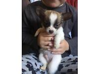 Long hair chihuahua puppies *just little girl left now