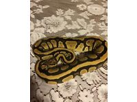 Female Fire Royal Python