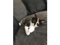 14 week old female kitten
