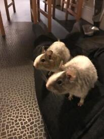 Two male Degu's, Tom and Jerry