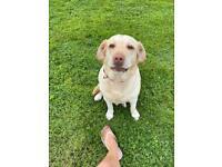 Beautiful Rare Dudley Labrador