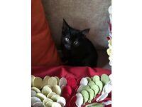 Black Kitten Missing in Leytonstone, London, e11