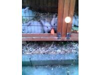 White bunnies for sale