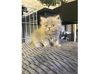 Stunning Pure Persian Kittens