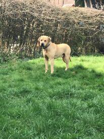 Beautiful English mastiff male dog
