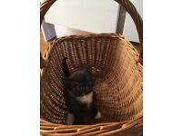 Ragdoll cross kitten for sale Severn Beach