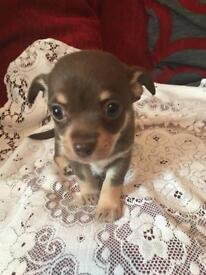 READY NOW Beautiful female short haired chihuahua