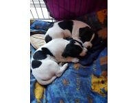 2 Girls Jack Russell puppies for sale