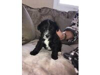 Jackadoodle Puppy
