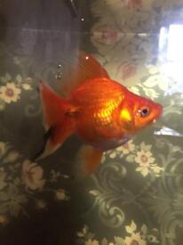 2 large goldfish