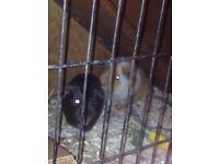 ASAP 2 male Guinea pig for sale