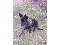 GERMAN SHEPARD CROSSED WITH DUTCH HERDER PUPPY FOR SALE