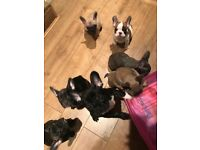 Quality KC reg frenchie puppies ready now!!