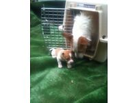 jack russell pups, rough coat,
