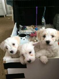 Bichon x shitzu puppies