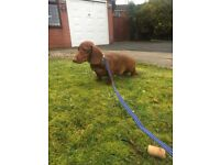 Amazing dachshund looking for 5 stars loving home