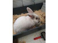 White rabbit free to good home