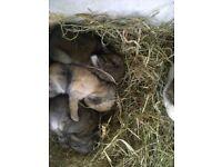 2 purebred netherland dwarfs for reserve