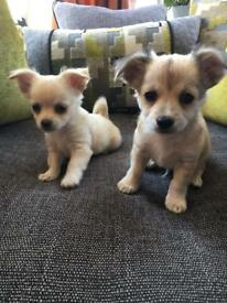 KC MALE CHIHUAHUA PUPS - Ready to leave