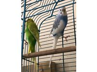 Beautiful pair of budgies healthy rare blue colour