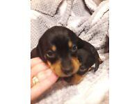 Stunning mini dachshund puppies 2 reserved