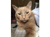 Beautiful gentle ginger tomcat needing loving home due to housing issues £50