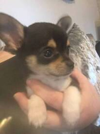 Kc registered chihuahua girl