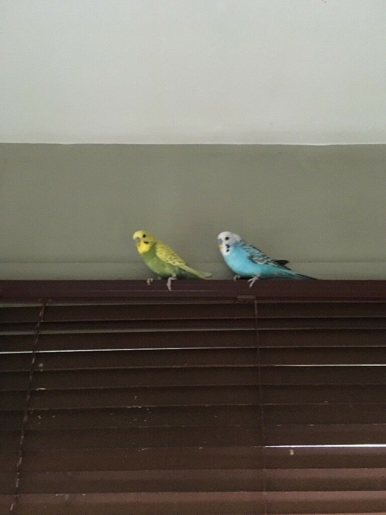 Two Young Male Budgies With Cage