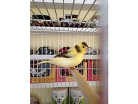 Male singing Canary
