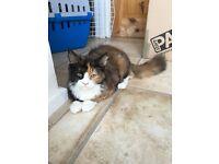 4 months Persian cat
