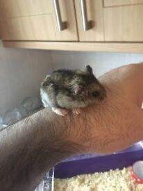 Russian Dwarf hamster with cage and food