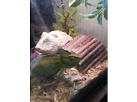 GECKOS / CAMELIONS CAN REHOME