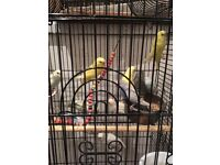 Baby Friendly Tame Budgies