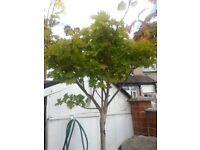 LARGE ACER / JAPANESE MAPLE TREE