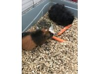 2 male guinea Pigs, cage, dry grass, food pellets & sawdust