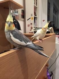 2 beautiful male cockatiels for sale with vision cage