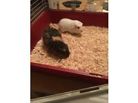 2 female guniea pigs and cage