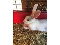 Male Mini Rex Rabbit for sale