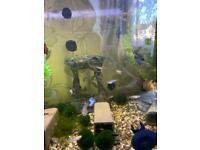 Exotic guppy + snails + bristlenose pleco
