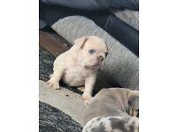 Merle male French bulldog puppies