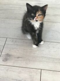 Beautiful Persian x Bengal kittens 9 weeks !!