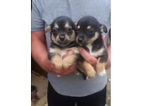 Tiny Chihuahua cross Jack Russel pups