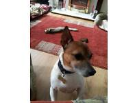 Miniature jack russell terrier free to good home