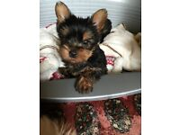 Beautiful pedigree Yorkshire terrier pups for sale