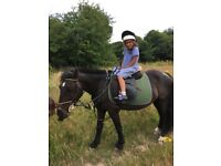 Star ride and drive 13.3hh gelding